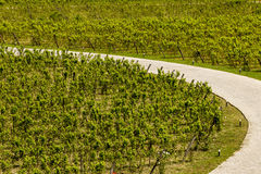 Road in a vineyard Royalty Free Stock Photos