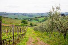 Road Between Vineyard and Olive Trees Royalty Free Stock Photos