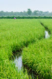 Road of water on the rice field Stock Photo