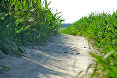Road in the wheat field. Road in the gigantic whet field Royalty Free Stock Photo