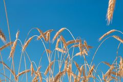 Road in wheat field and golden ears. Wheat field Royalty Free Stock Photo