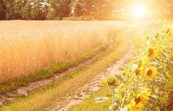 Road in wheat field and sunflower. Wheat field Royalty Free Stock Photos