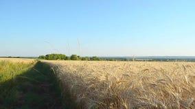 Road in the wheat field, yellow field of wheat, grain yield. stock video