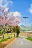 Road with Wild Himalayan cherry tree at Doi Ang Khang, Thailand Royalty Free Stock Photography