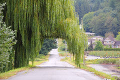 Road Through the Willow Tree. A road leads through a Weeping Willow tree Stock Photography
