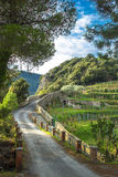 Road Vineyard Hillside Monterosso Italy. A dirt road winds through lush green vineyards in the hills above the coastal Cinque Terre village of Monterosso al Mare Stock Photo