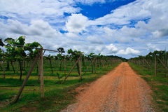 Road in wineyard Royalty Free Stock Photo