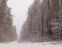 Road in winter forest Stock Image