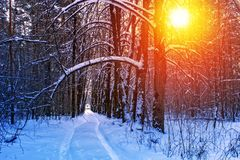 Road in the winter sunny forest. Winter snow forest trees sunset background. Red sunset in winter snow forest trees scene. Winter. Ski road in the winter sunny stock images