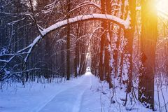 Road in the winter sunny forest. Winter snow forest trees sunset background. Red sunset in winter snow forest trees scene. Winter. Ski road in the winter sunny royalty free stock photos