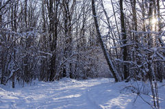 The road in the winter wood in a cleaar sunny day Royalty Free Stock Photography