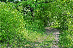 Road in woodland. Verdurous view of road or track passing through deciduous green forest royalty free stock photos