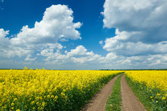 Road in yellow flower field, beautiful spring landscape Stock Photography