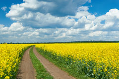 Road in yellow flower field, beautiful spring landscape Royalty Free Stock Photos