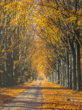 Road with Yellow Foliage of Birch Trees during Autumn Stock Images