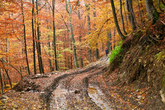 Road in yellow forest Stock Image