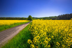 Road through yellow rapeseed field Stock Images
