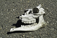 Roadkill skull Royalty Free Stock Photo
