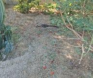 Roadrunner ища еды в La Quinta стоковые изображения