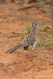 roadrunner foto de stock royalty free