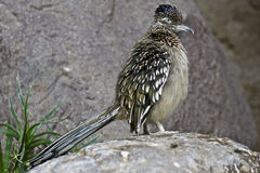 Roadrunner. The roadrunner is probably the fastest running bird species alive today stock photography