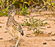Roadrunner Royalty Free Stock Photo
