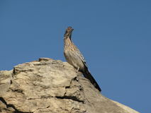 Roadrunner. In Irvine Open Space, Irvine, CA Stock Images