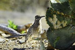 Roadrunner Stock Images