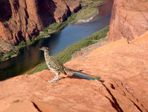 Roadrunner. A roadrunner bird on the edge of the cliff over the colorado River royalty free stock photos