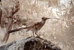 Roadrunner Royalty Free Stock Image