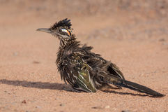 roadrunner fotografia de stock royalty free
