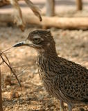 Roadrunner. A roadrunner under the shade of a small tree Royalty Free Stock Image