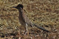 roadrunner Photographie stock