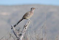 Roadrunner. Shot of a roadrunner in a dead tree taken in New Mexico royalty free stock image