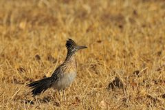 Roadrunner Royalty Free Stock Photos