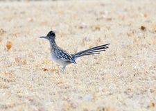 Roadrunner Royalty Free Stock Images