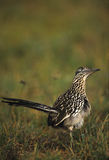Roadrunner. A roadrunner pauses in green grass Royalty Free Stock Image