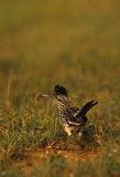 Roadrunner. A roadrunner pauses to look for prey royalty free stock image