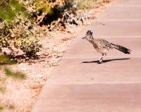 Roadrunner Arizona. Handsome Roadrunner bird on hot sidewalk in Arizona checking out the flowers Royalty Free Stock Photography