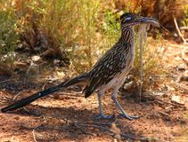 Roadrunner avec sa proie Photos stock