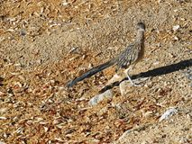 Lone roadrunner camouflaged by it`s habitat. The roadrunner bird blends into the brown and grey desert environment as it warms itself in the desert sun royalty free stock photography
