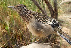 Roadrunner Bird. Close Up Detail Of Desert Road Runner In Profile stock photo