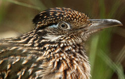 Roadrunner Bird. Close Up Detail Of Desert Road Runner In Profile stock photos