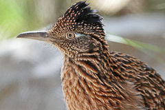Roadrunner Bird. Close Up Detail Profile Of Desert Road Runner royalty free stock photo