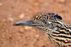 Roadrunner Bird. Close Up Detail Profile Of Desert Road Runner royalty free stock images