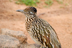 Roadrunner Bird. Close Up Detail Profile Of Desert Road Runner royalty free stock image