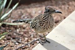 Roadrunner Desert Botanical Garden Phoenix, Arizona, United States. Roadrunner bird at the Desert Botanical Garden during the winter located in Phoenix, Arizona stock image