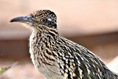 Roadrunner Desert Botanical Garden Phoenix, Arizona, United States. Roadrunner bird at the Desert Botanical Garden during the winter located in Phoenix, Arizona stock photo