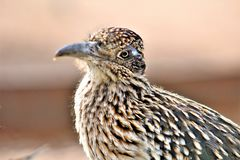 Roadrunner Desert Botanical Garden Phoenix, Arizona, United States. Roadrunner bird at the Desert Botanical Garden during the winter located in Phoenix, Arizona royalty free stock image