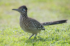 Roadrunner bird hunting food in grassy field,beak,feathers,wing,wildlife. An Oklahoma USA roadrunner bird hunting food in a green grassy field royalty free stock photos